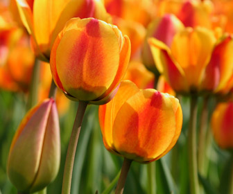 april tulips golden gate park